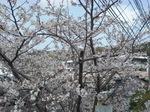 はやとちりな桜.JPG