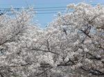 大村公園の桜.JPG