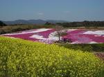 菜の花と柴桜.JPG